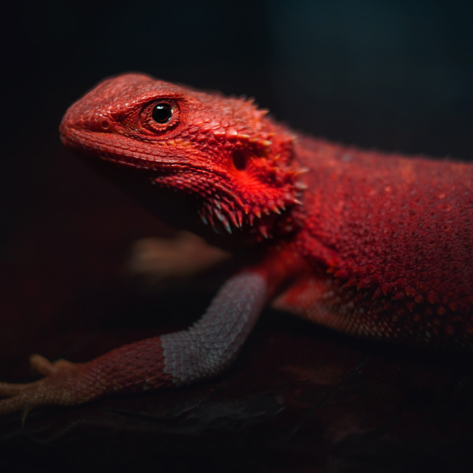 Orange Dragons Cz Pogona Vitticeps