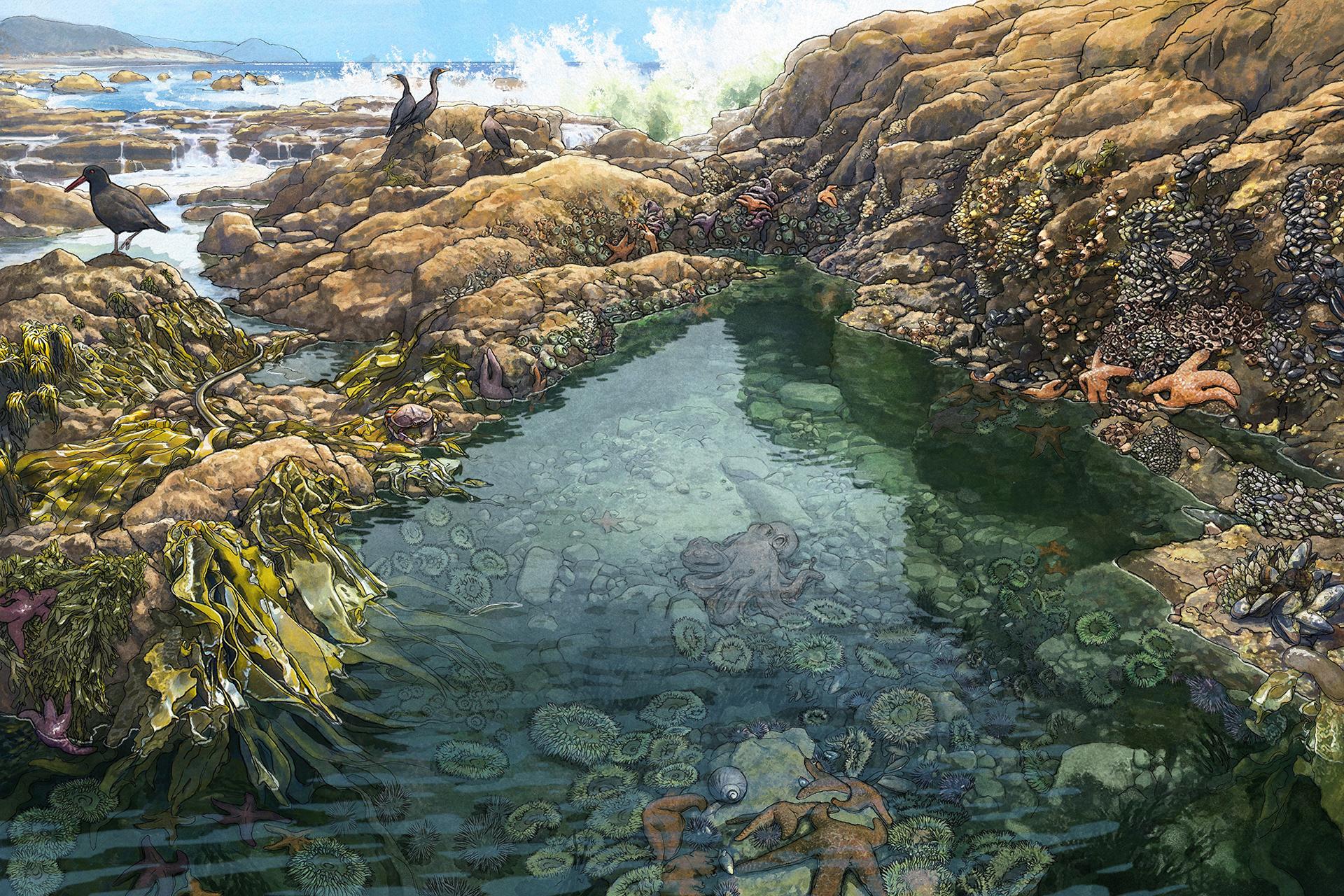 Pacific Coast Tidepools Art Print / Tide Pool Art ...  |Pacific Northwest Tide Pool