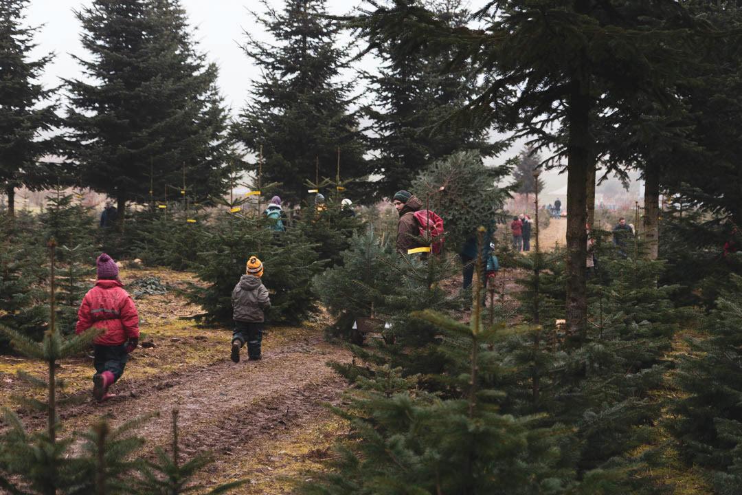 Weihnachtsbaum Selber Schneiden.Erlanger Weihnachtsbäume