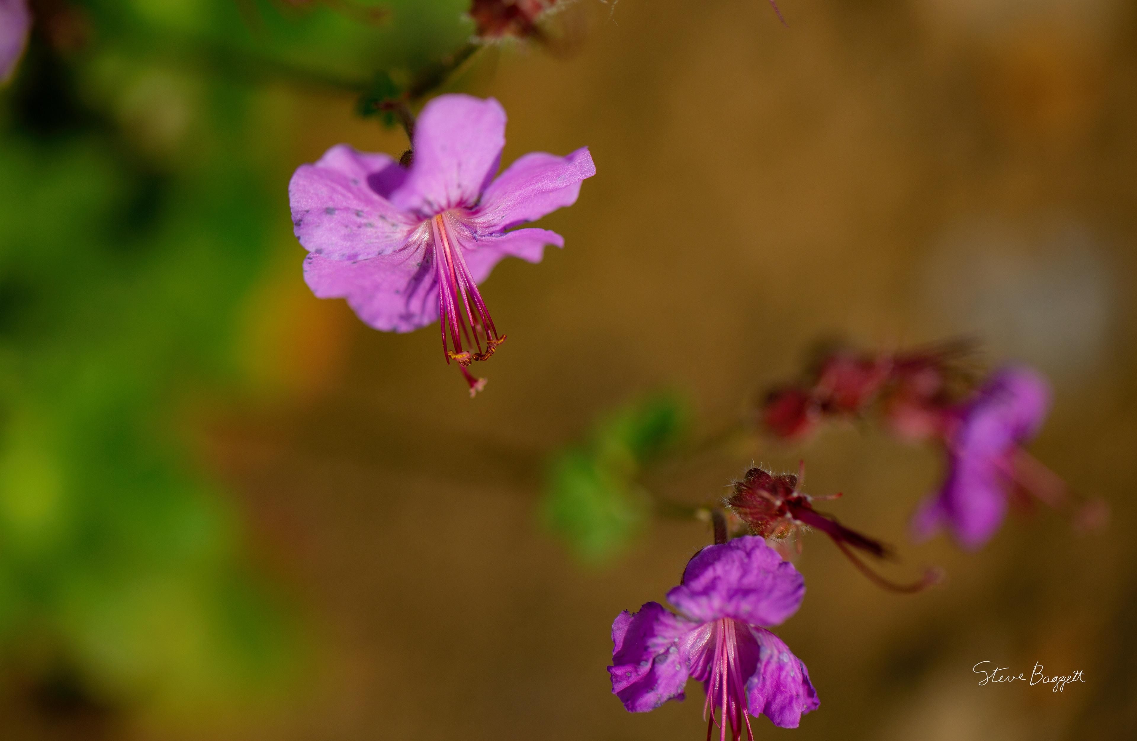 Steven Baggett Late Spring Flowers